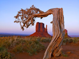 THOUSAND YEAR OLD TREE, MONUMENT VALLEY, UTAH