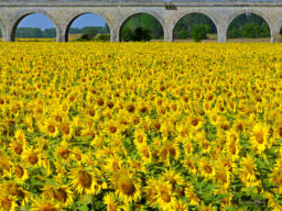 SUNFLOWERS AQUADUCT, FRANCE