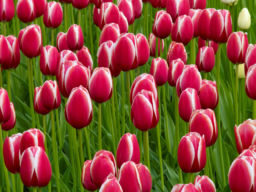 TULIPS IN HOLLAND, KEUKENHOF
