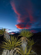 RED ROCK YUCCA